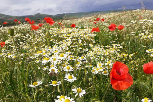 """Guy Lalière observe ce fleurissement exceptionnel. """"Il déjà temps de ramasser les myrtilles"""" annonce le botaniste."""