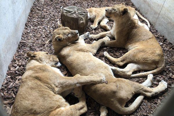 Les 4 lionnes à Saint-Martin-La-Plaine, dans la Loire, au sein de l'association Tonga Terre d'Accueil.
