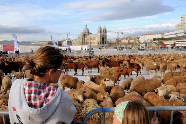 La transhumance remise à l'honneur à Marseille ce printemps dans le cadre de l'année capitale européenne de la culture