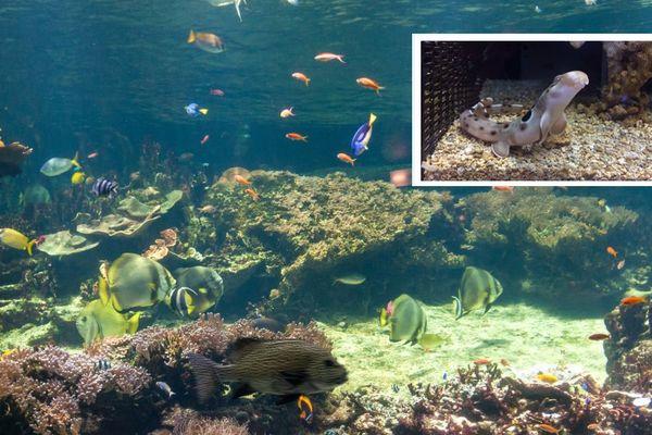 Nouveaux spécimens de requins marcheurs à Nausicaa