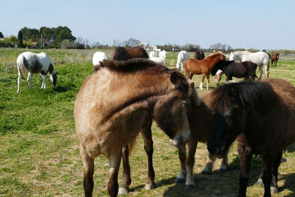 Les chevaux des centres équestres au repos dans les prés, à Saint Laurent d'Aigouze, dans le Gard