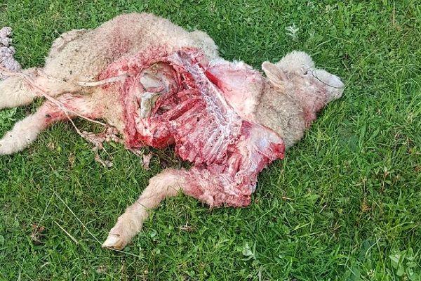 12 brebis ont été attaquées à Lompnas (Ain), entre le 27 mai et le 2 juin, l'oeuvre du loup selon le responsable du GAEC Reconnu-Joux, Guillaume Joux.