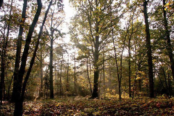 De jeunes chênes, dans la forêt d'Orléans.