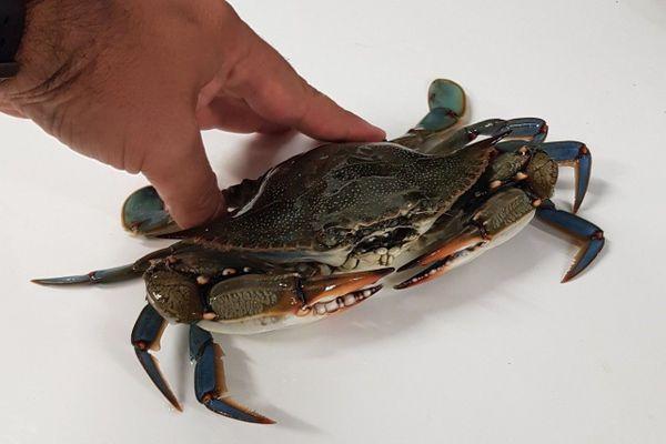Le crabe bleu américain s'est installé sur le littoral catalan.