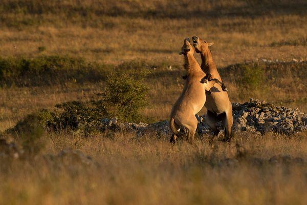 Deux étalons de Przewalski s'affrontent en boxant sur le Causse Méjean