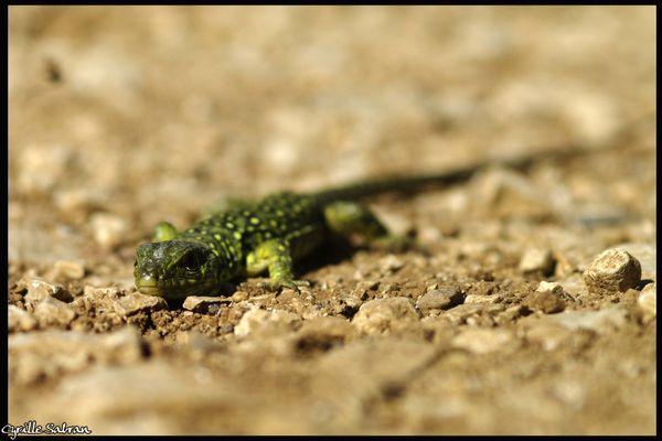 Le Lézard ocellé fait des 7 espèces de reptiles menacées d'extinction en France