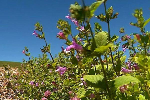 Le thé d'Aubrac est une plante sauvage qui ne pousse qu'à partir de 1 000 m d'altitude.