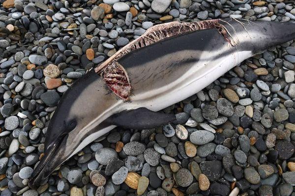 Le corps d'un dauphin éventré et dépecé découvert jeudi 30/01/20 sur la  plage de Plovan, dans le Finistère.