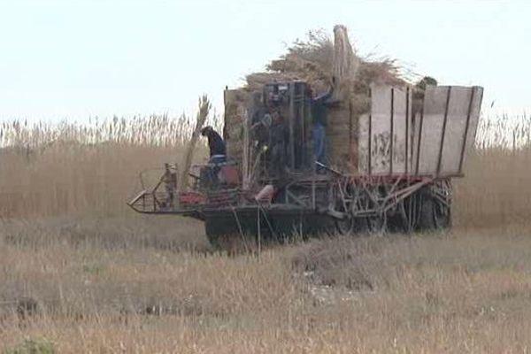 La récolte de la sagne en petite Camargue gardoise