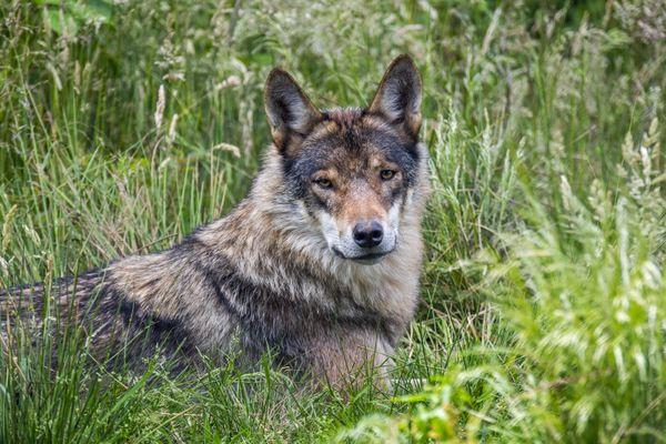 Le loup est bien présent en Bourgogne Franche-Comté.