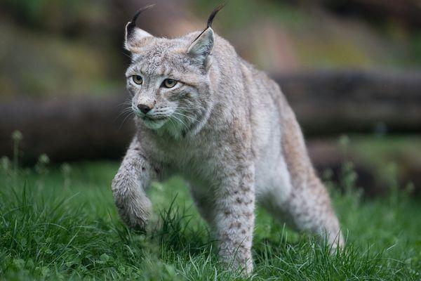 Les braconnages se multiplient, et les lynx disparaissent petit à petit.