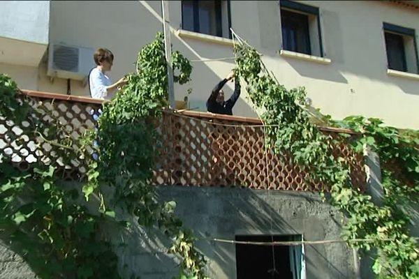 Récolte de houblon chez des particuliers à Marseille
