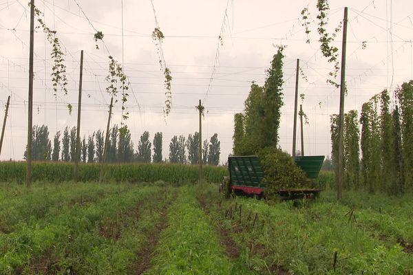 Récolte de houblon dans la plus grande houblonnière bio de France, à Obernai.