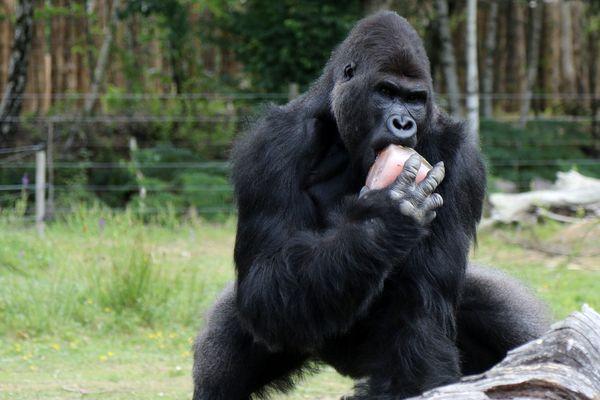 En période de chaleur les Orang-outons aussi ont le droit de manger des glaces