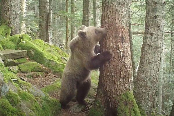 Jeune ours filmé le 20 septembre en Ariège