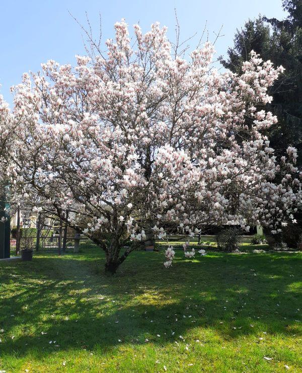 Tous les matins, Jeanne Guérin se réveille avec une vue imprenable sur ses magnolias en fleur / Ardennes, 23 mars 2020