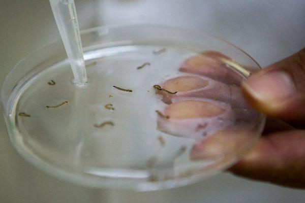 Etude en laboratoire de larves de moustiques. Octobre 2014