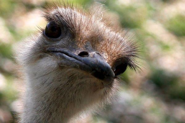 """"""" Ostrich bird """" by @Doug88888"""