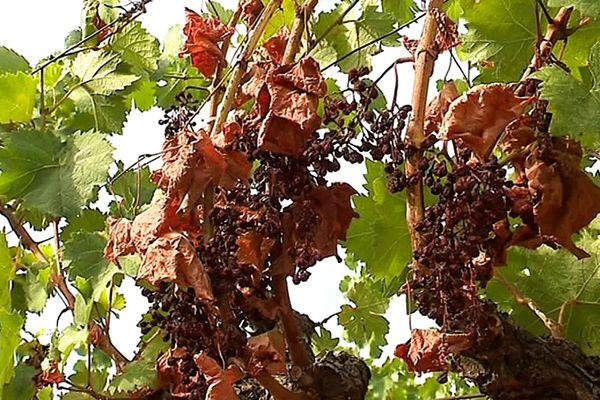Ce vignoble en culture biologique du Frontignanais a été très touché par la canicule - août 2019.