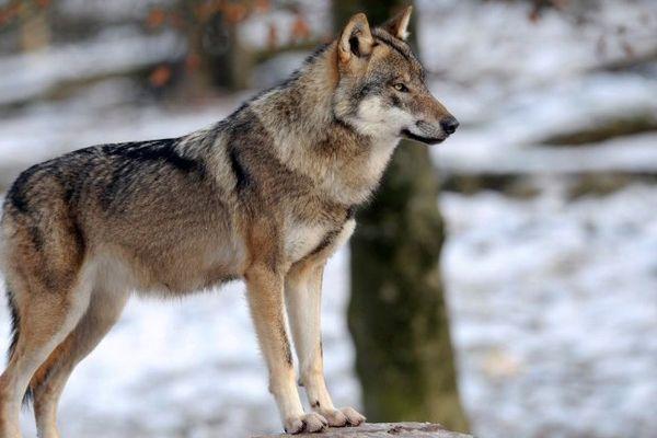 Un loup gris européen (image d'illustration, 12 décembre 2012, au parc animalier de Sainte-Croix, à Rhodes, en Moselle)