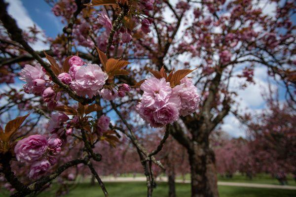 Cerisier japonais en fleur au parc de Sceaux