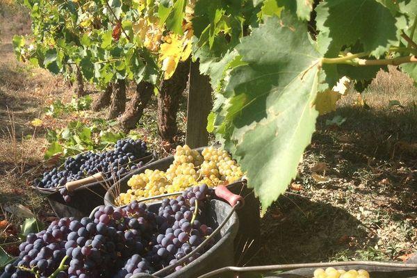 Du muscat rouge et blanc pour du vin rosé pétillant, parcelle située sur la commune de Suze.