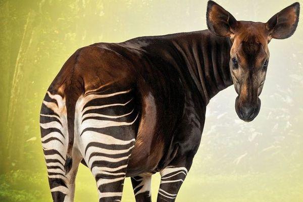 Deux mâles okapi sont arrivés au Parc zoologique et botanique de Mulhouse.