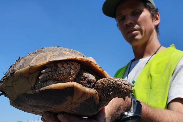 Des battues sont organisées pour sauver les emblématiques tortues d'Hermann, très impactées par l'incendie du massif des Maures (Var).