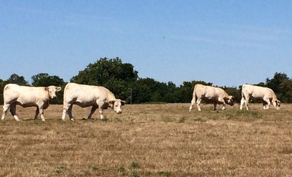 Dans le Perche (61), les prairies sont déjà desséchées, les bovins peinent à trouver de quoi se nourrir