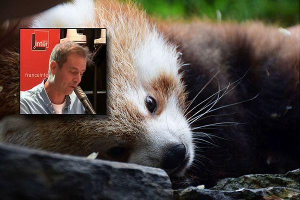 Le bébé panda roux du parc zoologique de Clères et en médaillon Tanguy Pastureau au micro de France Inter