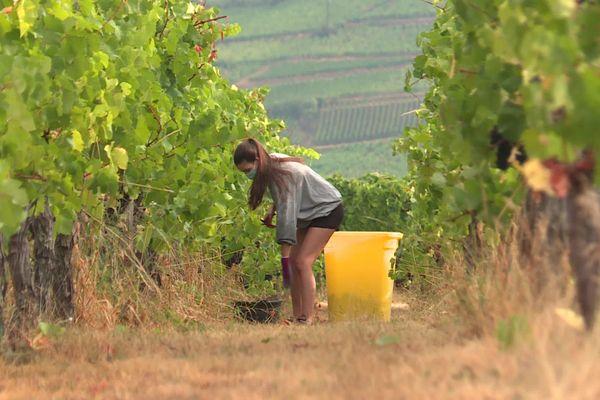 En 2020, les récoltes de raisin ont démarré à Ammerschwihr (Haut-Rhin) une journée avant l'annonce officielle des dates des vendanges.