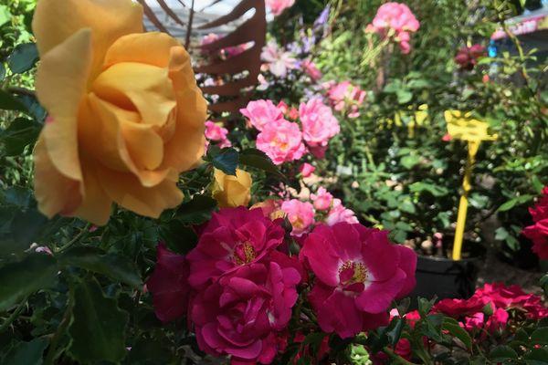 En automne, les rosiers sont des incontournables.