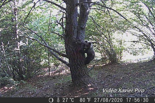 Un des deux oursons grimpant à l'arbre sur lequel Xavier Piro a badigeonné du goudron naturel.
