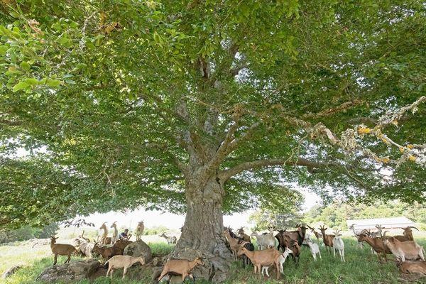 """Avec une envergure remarquable, le hêtre """"du deime"""" de Chavagnac dans le Cantal, est un arbre apprécié des troupeaux de chèvres."""