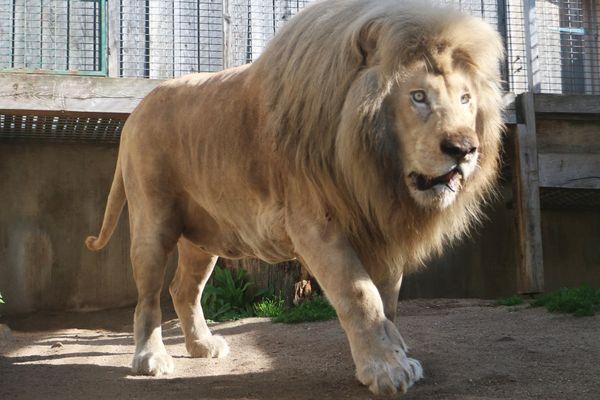 Safran au parc zoologique de Saint-Martin la Plaine
