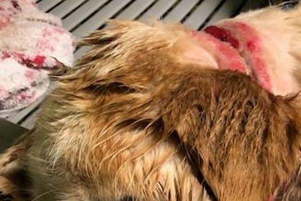 Le chien était attaché à une chaîne à maillon qui lui rentrait dans la peau.