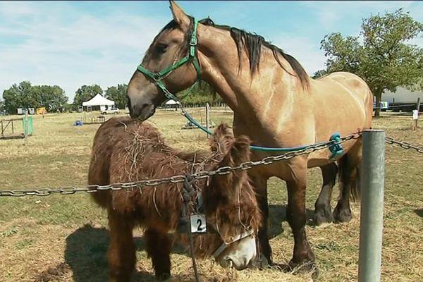 Beaucoup moins connus que les Baudets du Poitou, les chevaux de traits poitevins font aussi parti du patrimoine de la région.