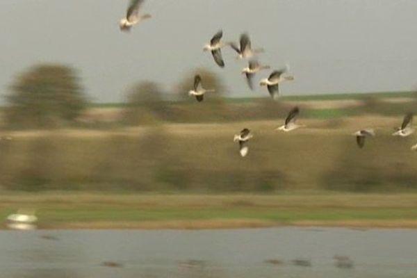 Oiseaux migrateurs en Baie de Somme