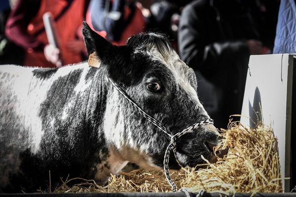 Depuis 2009, le Salon International de l'Agriculture met à « l'honneur » une race bovine tous les ans. Cette année, c'est la Bleue du Nord et Imminence qui ont été choisies pour être l'égérie de l'édition 2019.