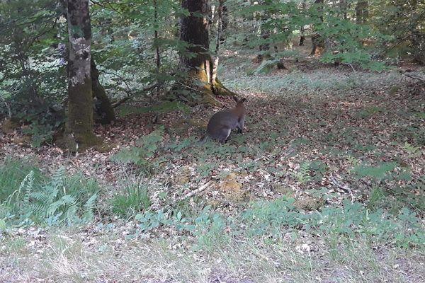 Le marsupial a surgi sur la route forestière devant l'automobiliste, s'est mis sur le côté puis est à nouveau entré en forêt