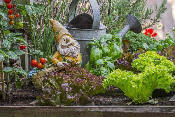 Les laitues pourront être maintenues au sol jusqu'aux premières gelées de l'hiver. Il est désormais trop tard pour en planter. A l'inverse, il est encore possible de planter des salades chicorées telles que les scaroles.