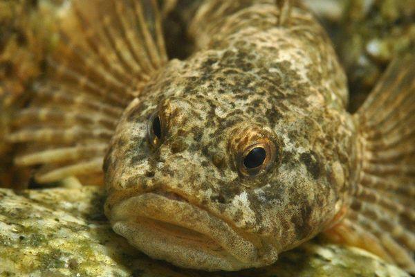 Le chabot des Pyrénées (Cottus hispaniolensis) est une espèce à distribution restreinte limitée aux cours d'eau montagnards, et donc particulièrement vulnérable aux modifications climatiques.