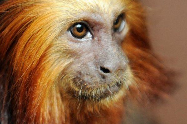 Un tamarin-lion à tête dorée.