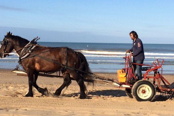 Écologique, économique, à Saint-Gilles-Croix-de-Vie les chevaux font mieux que le tracteur pour nettoyer la plage en douceur