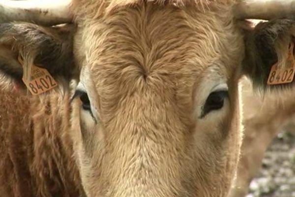 Jeune vache du troupeau à Antrenas en Lozère