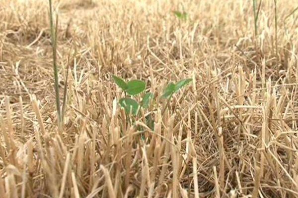 Juin 2015 : un malheureux trèfle isolé au milieu de champs à sec en Haute-Loire.