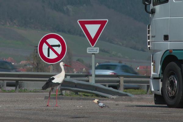 Une cigogne blanche sur le parking de l'aire d'autoroute du Haut-Koenigsbourg.