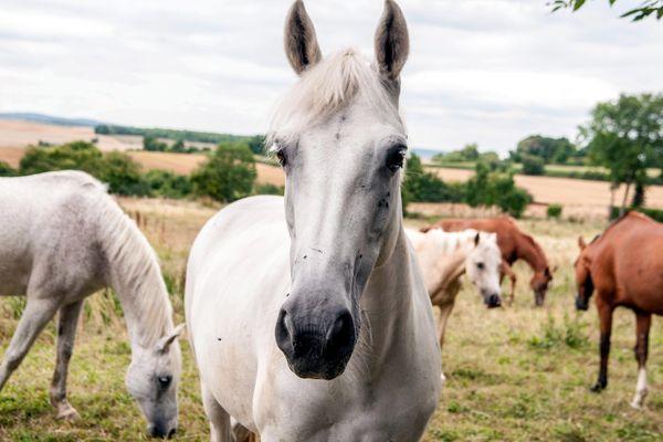 Ces dernières semaines, plusieurs chevaux ont été victimes d'actes de cruauté dans les campagnes de France. (Image d'illustration)