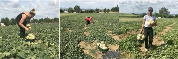 L'équipe de la ferme Wilt est aux petits soins pour ses melons : aucun produit chimique, tout le terrain est travaillé à la main.