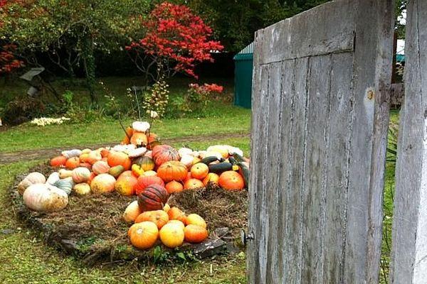 Dans le jardin du presbytère, les potirons sont prêts pour la 7ème fête traditionnelle de Caligny (Orne)